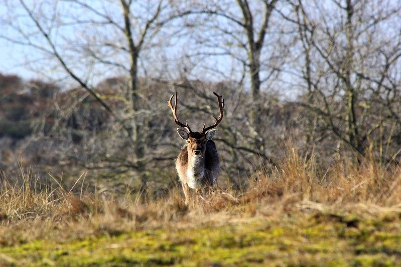 Fallow deers @ Zandvoort