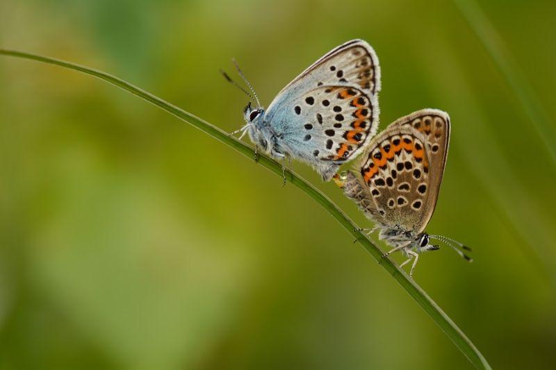 boswachterspad-brabantse-wal-goudberg-heideblauwtje