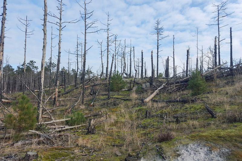boswachterspad-schoorlse-duinen-verbrand-bos