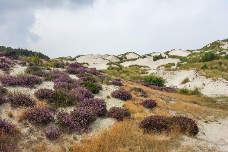 boswachterspad-schoorlse-duinen-bloeiende-hei-duinen