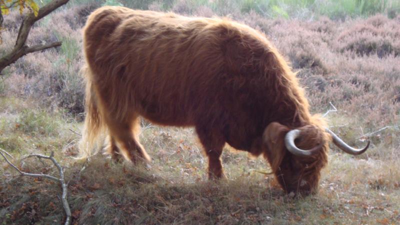 koe op de hei