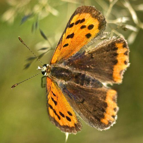 Vlinder-Kampina