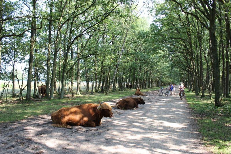 Obstakels op de weg; de Schotse hooglanders gaan geen stapje opzij.