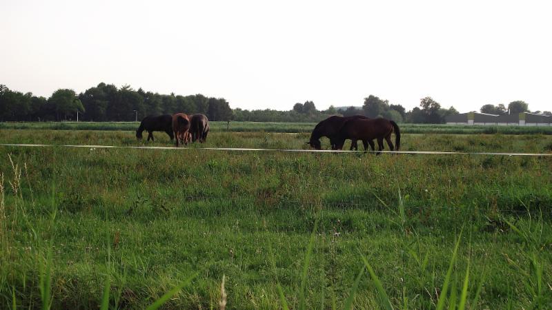 Paarden bij Driel