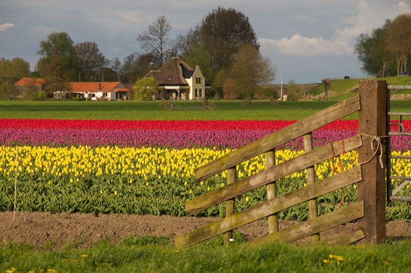 Tulpenpracht bij Oosterleek