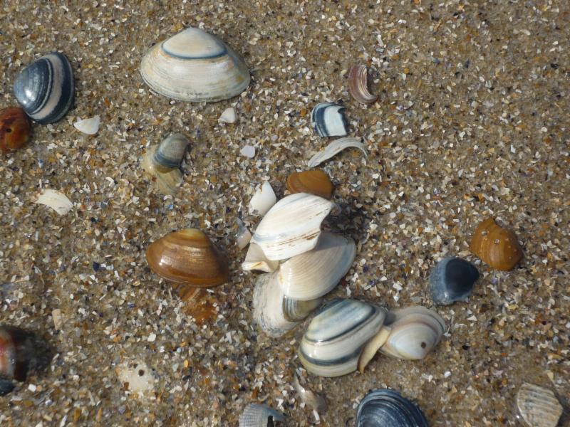 Schelpen op het strand in Callantsoog