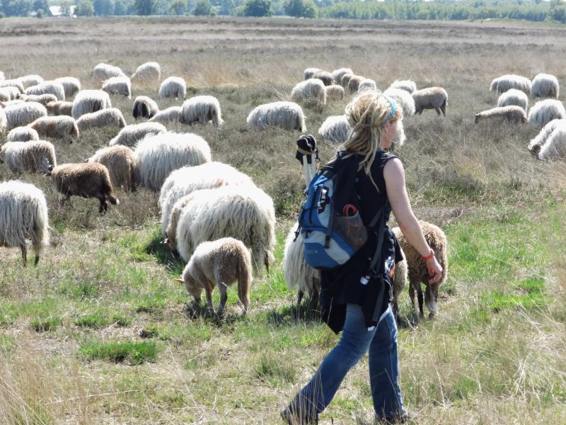 Schaapskudde Cralosche heide met herder(in)