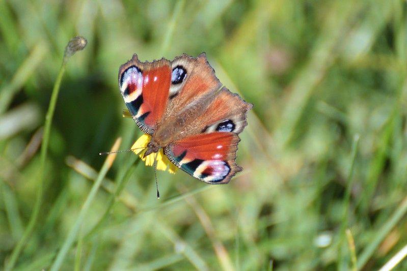 20120922 Helenaveen Mariapeel 005 Vlinder