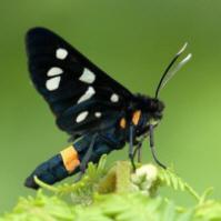 Beegderheide, Phegeavlinder