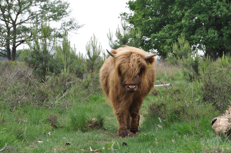 Schotse hooglanders onderweg.