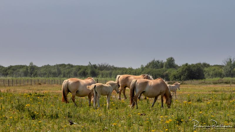 Fjorden Paarden