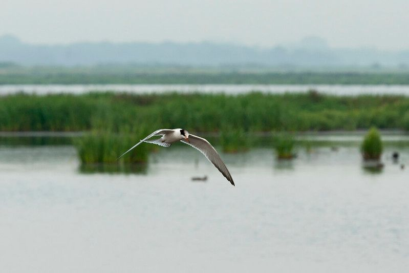 Sterna hirundo in flight