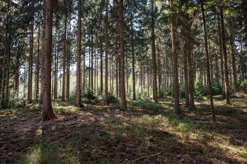 boswachterspad-veluwe-kootwijk-douglasspar