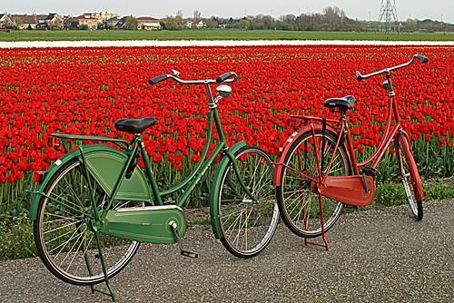 Bollenveld met fietsen
