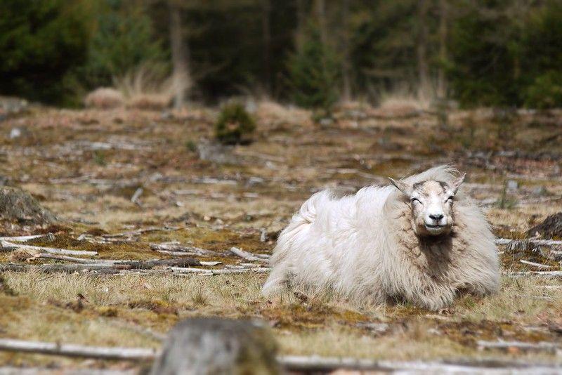 Zonnend schaap in het Drents-Friese Wold