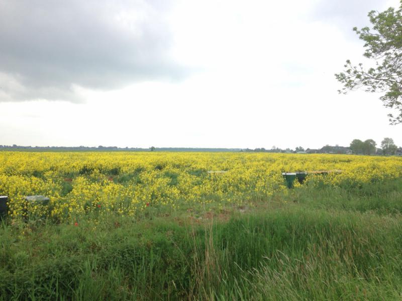 Koolzaadveld met Bijenkasten èn: Klaprozen