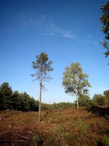 Twee bomen op een stukje hei