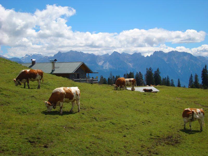 Alpenwelt Karwendel - Kühe bei Krüner Alm_1_4587