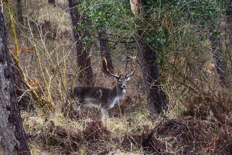boswachterspad-schouwen-duiveland-meeuwenduinen-damhert