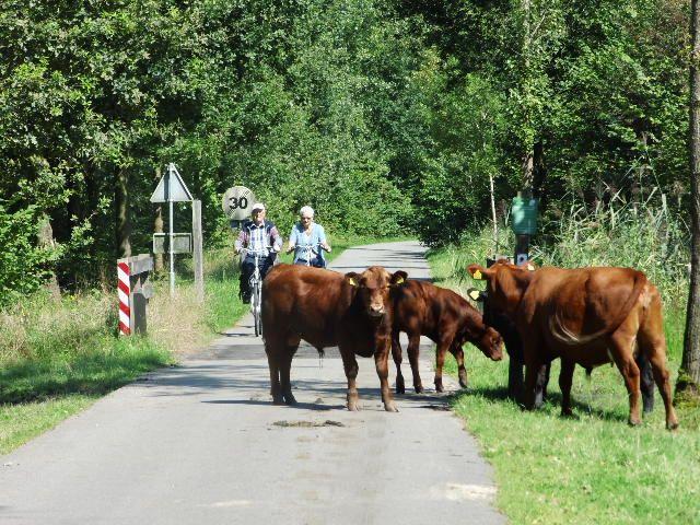 koeien op fietspad
